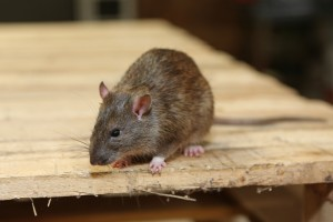 Rodent Control, Pest Control in Richmond Hill, Richmond Park, TW10. Call Now 020 8166 9746