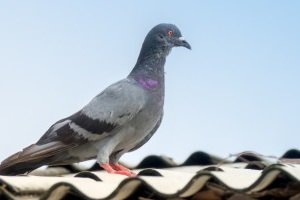 Pigeon Pest, Pest Control in Richmond Hill, Richmond Park, TW10. Call Now 020 8166 9746