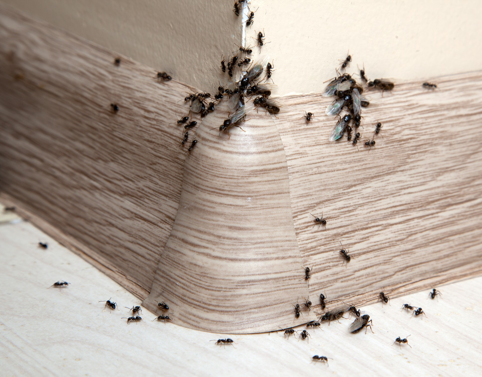 Ant Infestation, Pest Control in Richmond Hill, Richmond Park, TW10. Call Now 020 8166 9746
