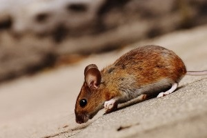 Mouse extermination, Pest Control in Richmond Hill, Richmond Park, TW10. Call Now 020 8166 9746